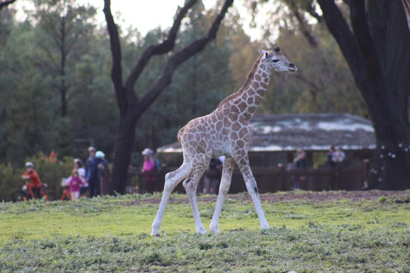 Giraffe calf Layla on exhibit