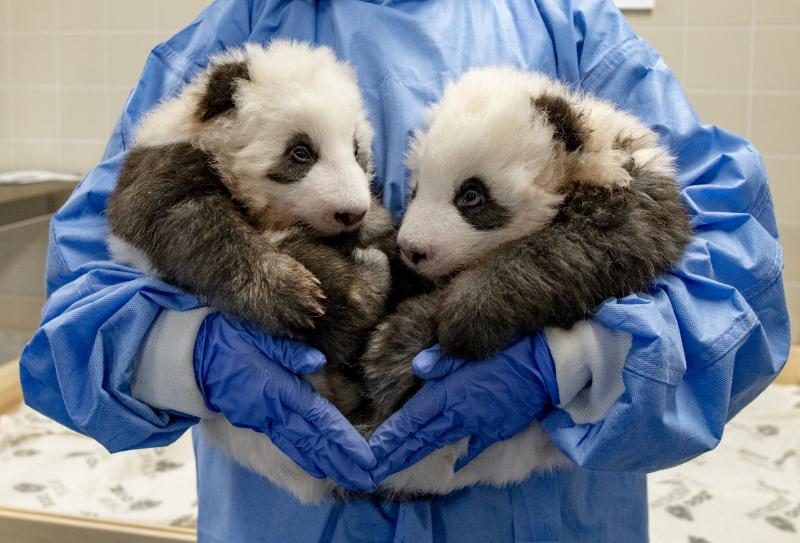 7) Rückblick_Großer Panda-Nachwuchs_Zoo Berlin