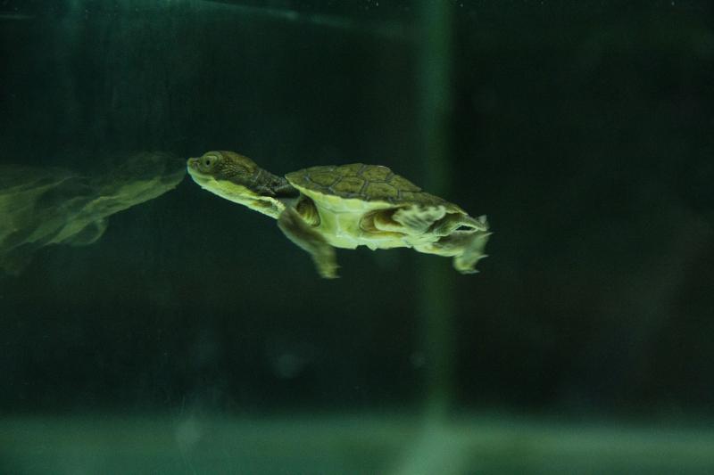 Bellinger turtle hatchling_2020_4