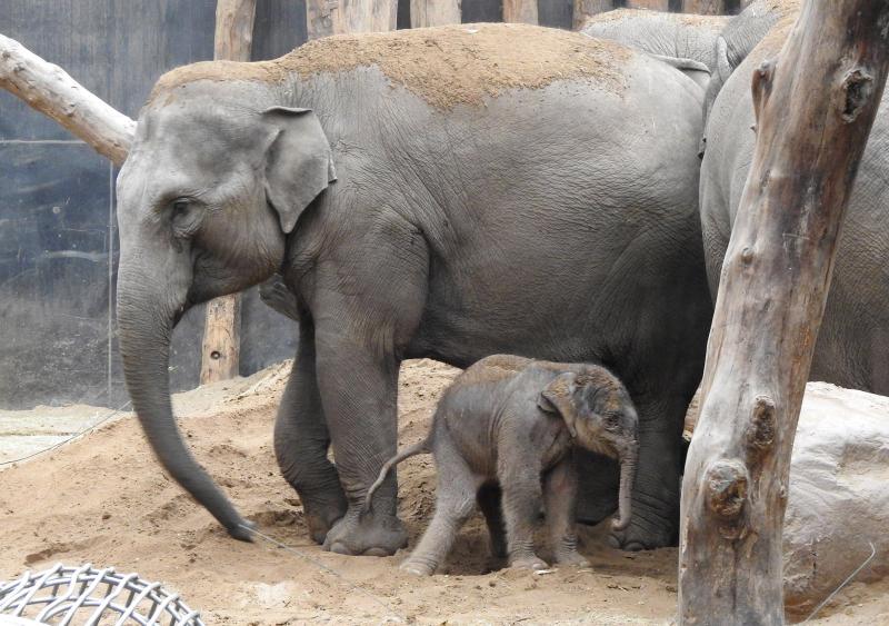 Olifantje geboren in DierenPark Amersfoort