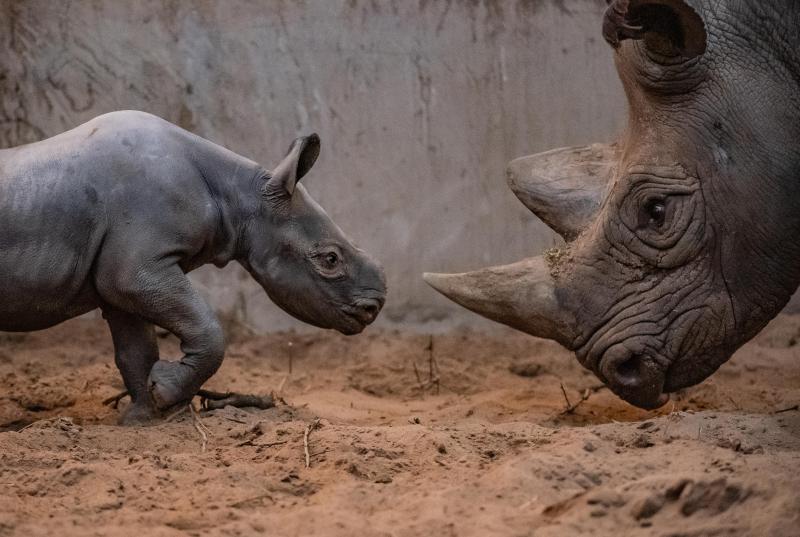 Joy as rare baby rhino born at Chester Zoo (5)