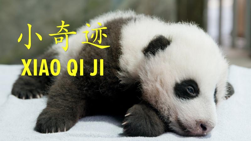 2020.11.22_giant_panda_cub_xiao_qi_ji_reveal_0