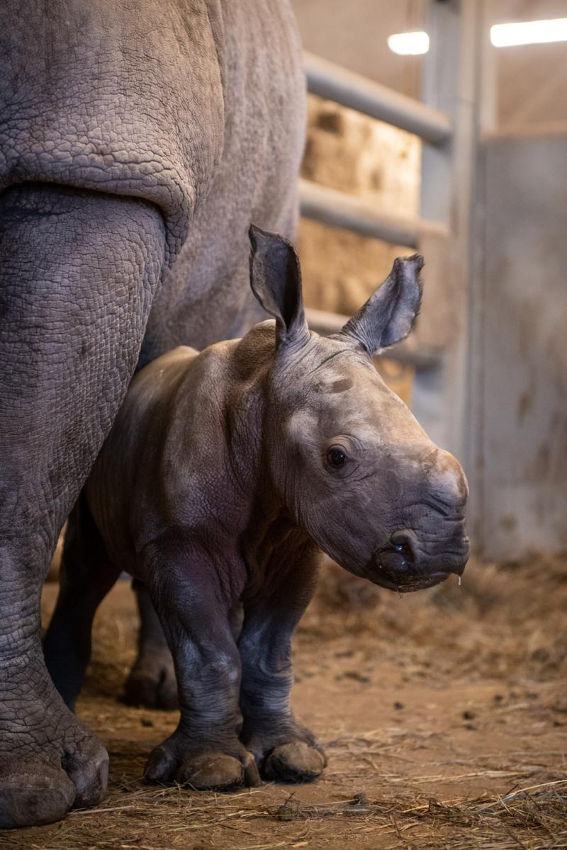Southern White Rhino Calf 9372 - Grahm S. Jones  Columbus Zoo and Aquarium