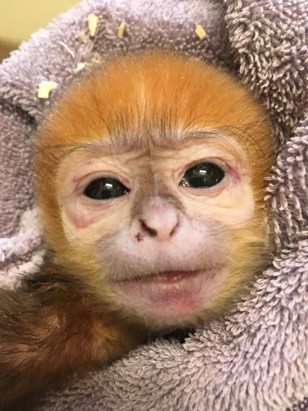 François' langur baby 3