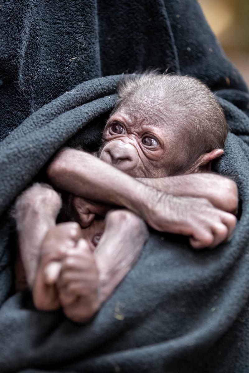 RS40140_2021_02_01 baby gorilla_-6