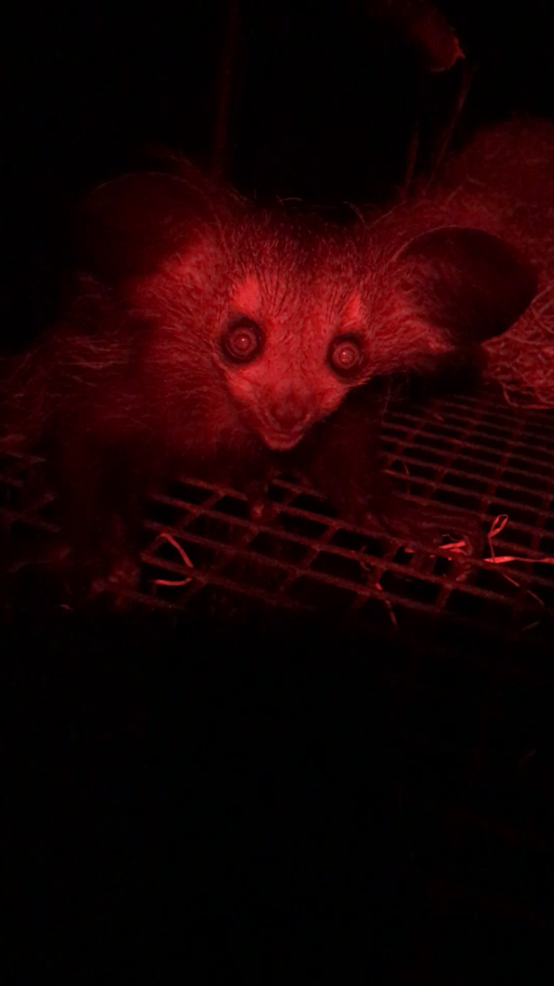 The first sighting of infant aye-aye at Bristol Zoo Gardens - Pic Paige Bwye