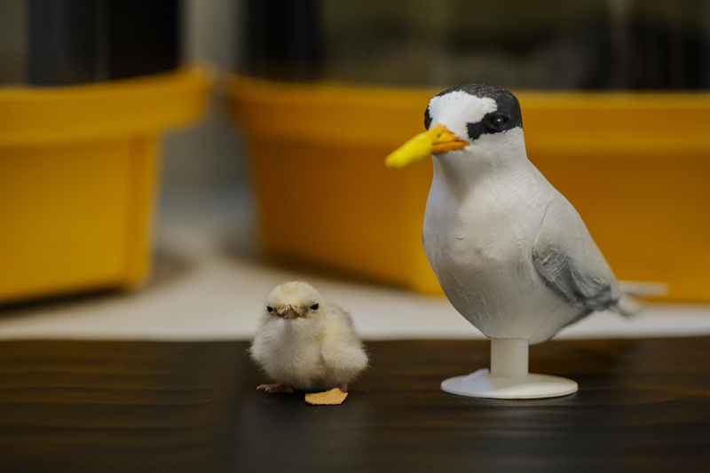 Auckland-Zoo_Fairy-Tern-Chick_17.12.20_41-32