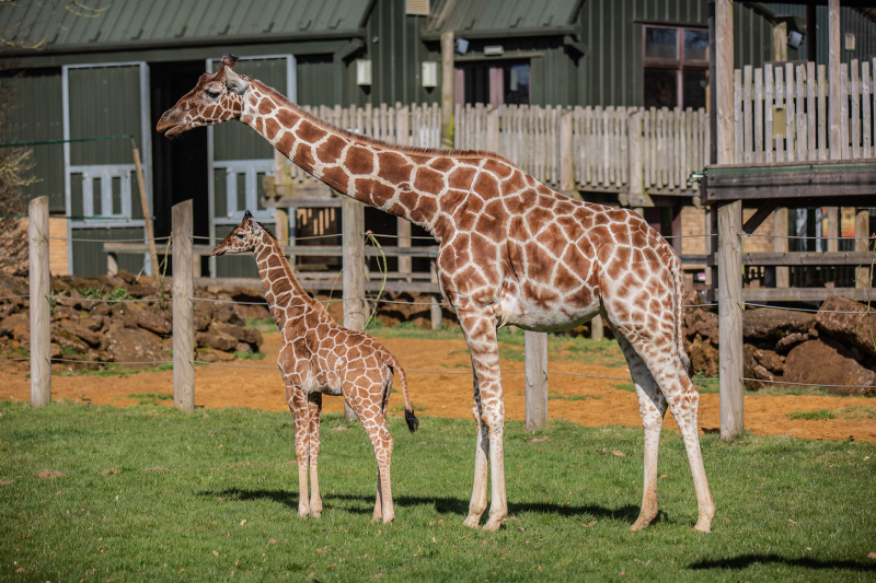 B-Margaret-the-giraffe-calf-takes-first-steps-outside-at-ZSL-Whipsnade-Zoo-c-ZSL