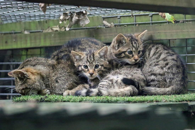 The-kittens-bred-at-Wildwood-Trust-are-vital-to-the-continued-existence-of-the-species-in-the-UK-and-to-the-project