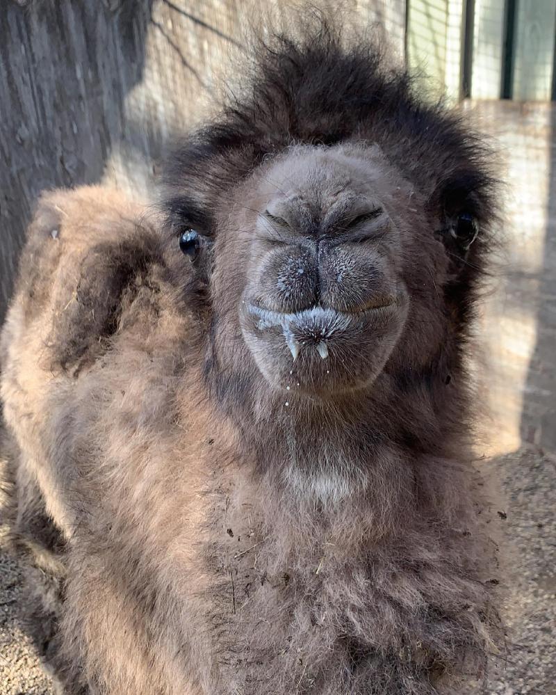 Token camel calf