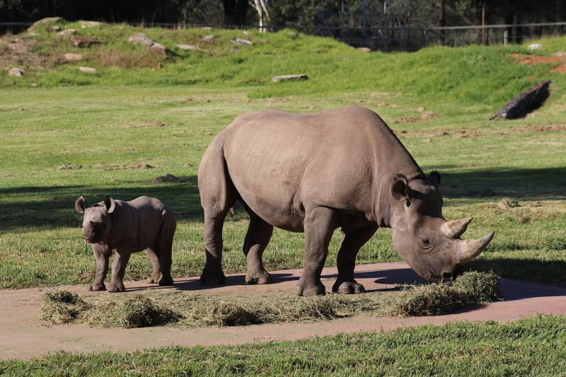 Black-Rhino-calf-Sabi-Star-and-mum-Bakhita