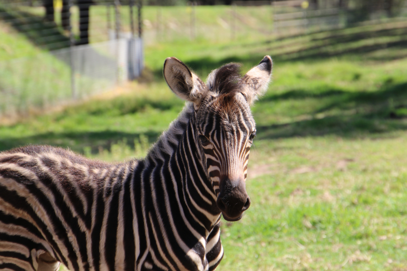 Zebra foal_4
