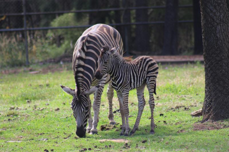 Zebra foal_1