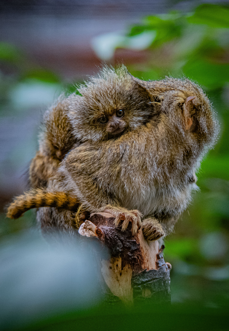 One of the world's smallest monkeys born at Chester Zoo (1)