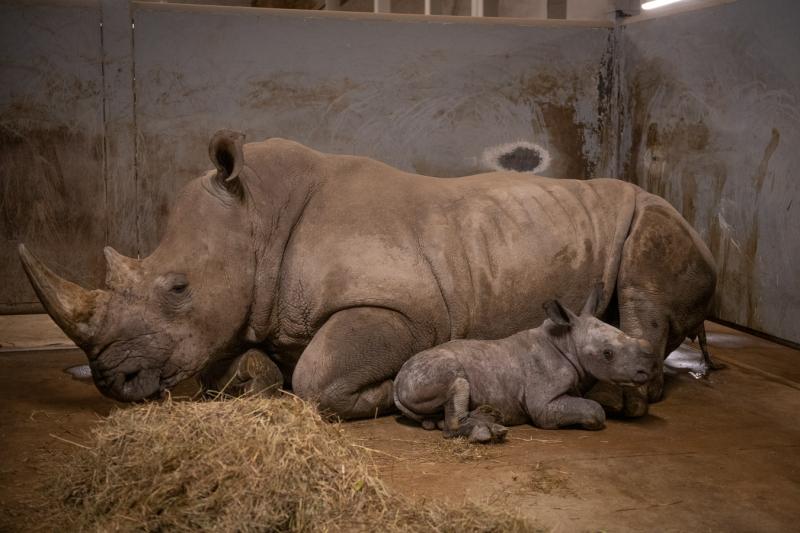 Southern White Rhino Calf (Boy) 1376 - Amanda Carberry  Columbus Zoo and Aquarium