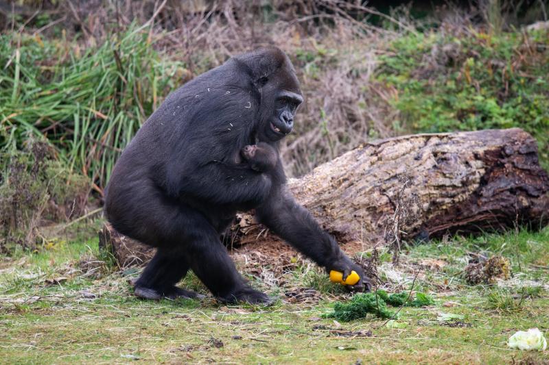 JJ-Gorillas-Touni's-Baby-[24.12.20]-1