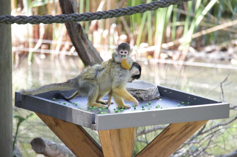 Squirrel monkey baby. Credit Jennifer Steed