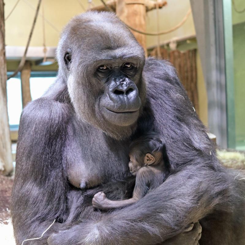 Gorillajungtier_ZooBerlin2021 (1)