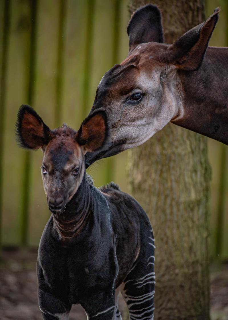 It_s a girl! Rare okapi born at Chester Zoo (14)