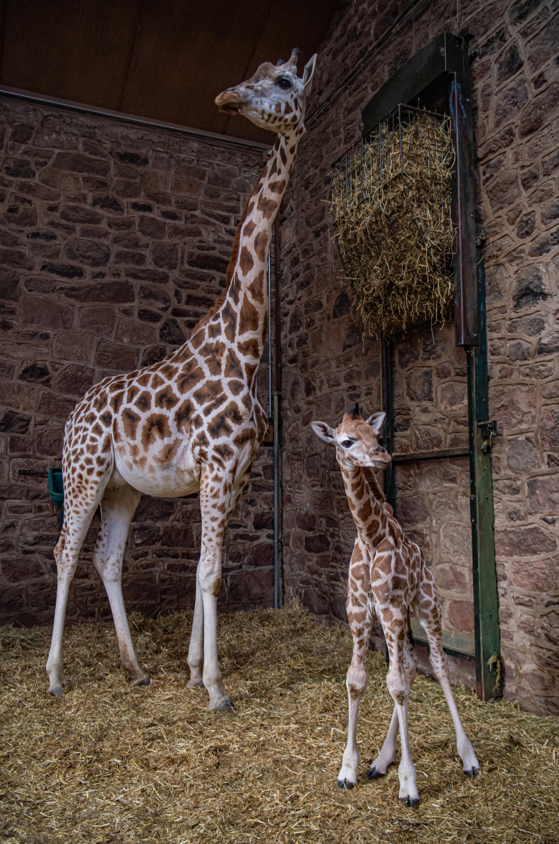Rare baby giraffe born at Chester Zoo (57)
