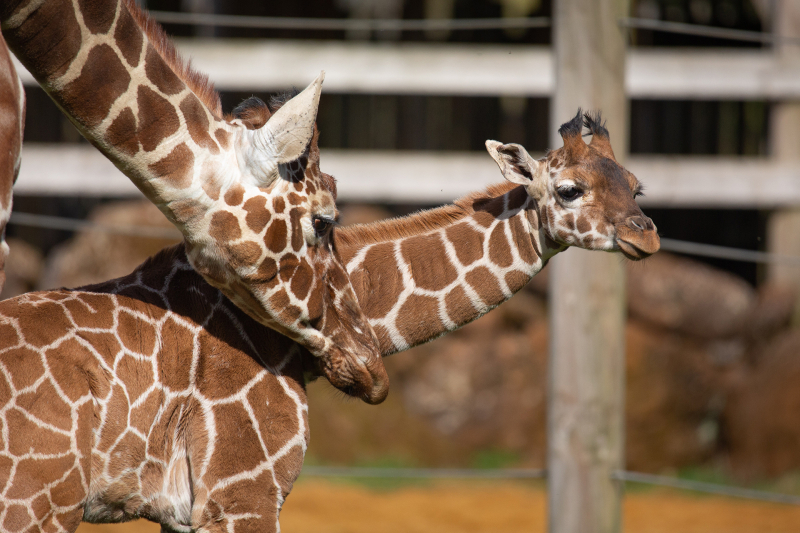A-Margaret-the-giraffe-calf-takes-first-steps-outside-at-ZSL-Whipsnade-Zoo-c-ZSL