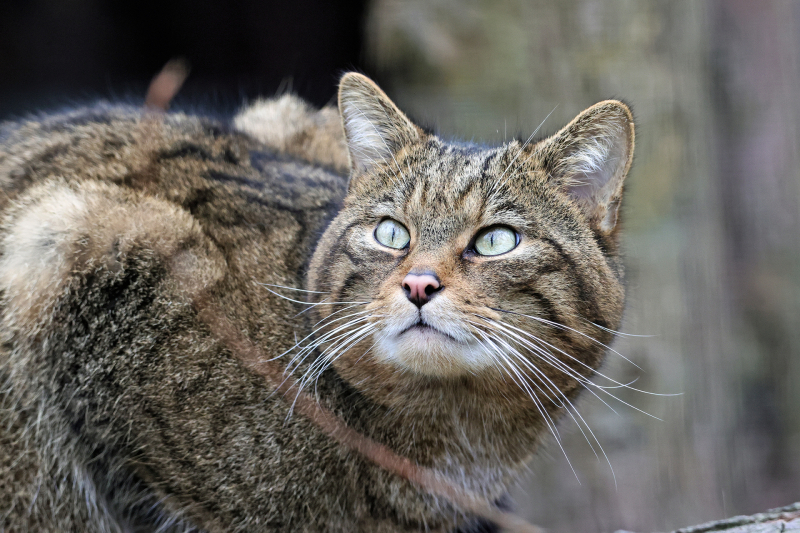 The-wildcat-has-been-classified-as-_functionally-extinct_-in-the-wild-in-the-UK.-Less-than-300-individuals-are-estimated-to-remain