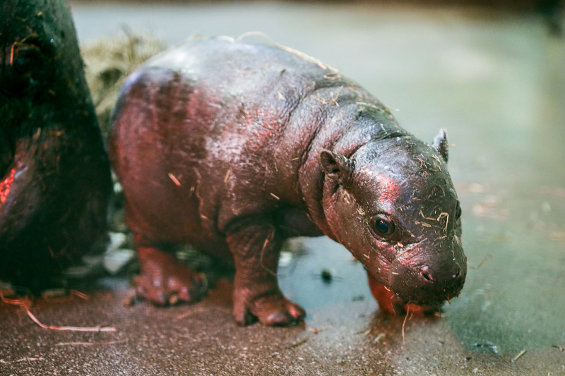 Pygmy-hippo-calf_28.4.21_JW-(4)