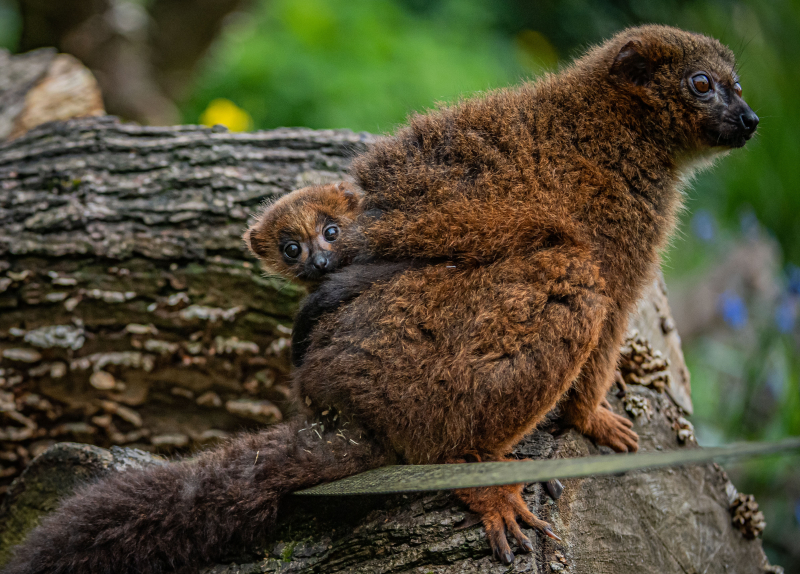 Chester Zoo celebrates birth of first red-bellied lemur (2)