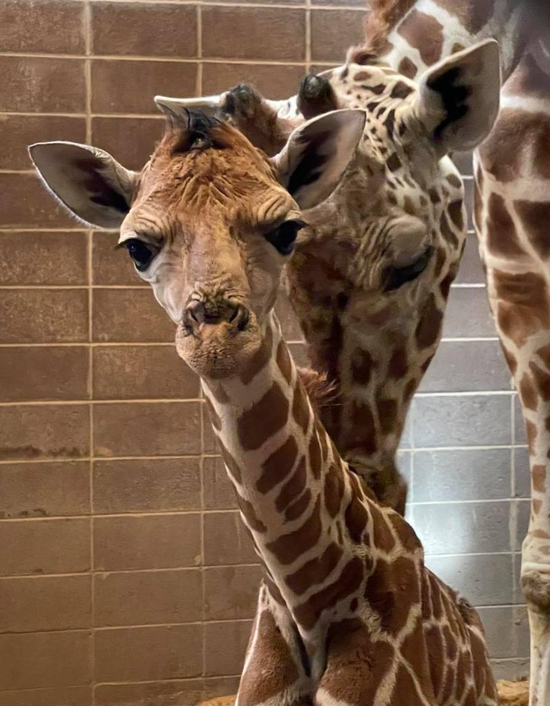 Giraffe Calf Credit Tracey Dolphin-Drees 2