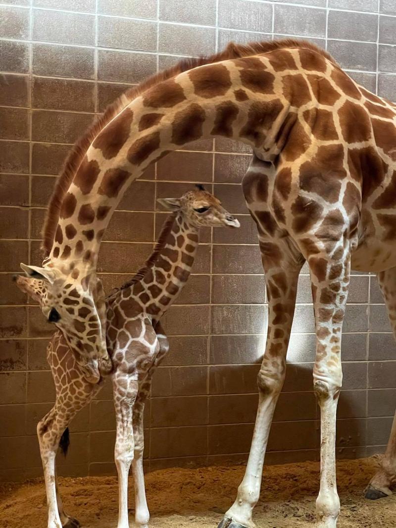 Giraffe Calf Credit Tracey Dolphin-Drees 4