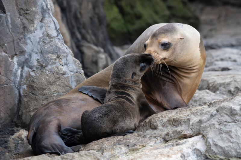 Julie-Larsen-Maher_4243_California-Sea-Lion-and-Pup_AQ_06-04-21