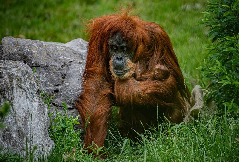 Critically endangered orangutan born at Chester Zoo  (3)