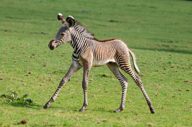 PhotosByGemma---Grevy's-zebra-foal-(5)