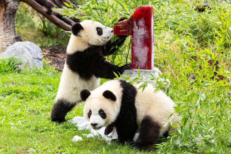 Panda-Zwillinge Pit und Paule_Zoo Berlin_2020