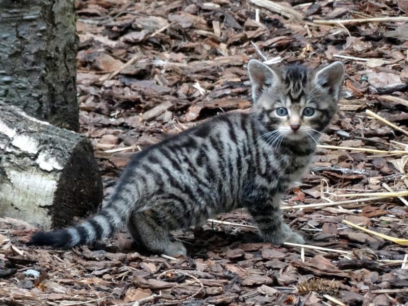 Jan Morse_Wildcat Kittens