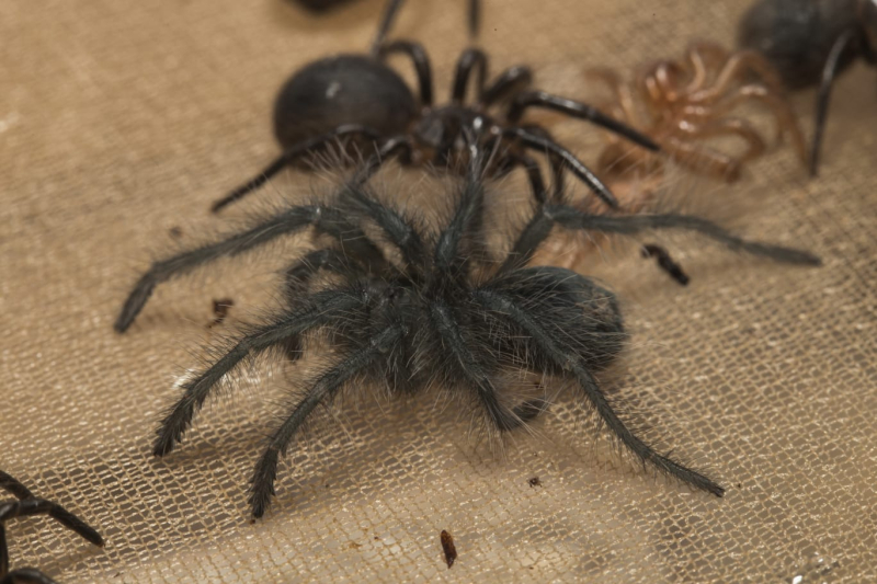 Recently moulted spiderling
