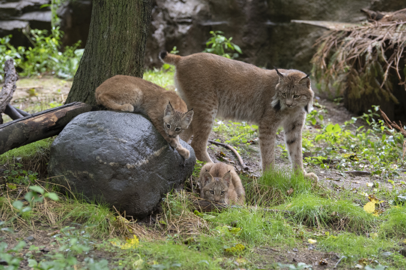 Julie Larsen Maher_4861_Canada Lynx and Kittens_QZ_09 02 20