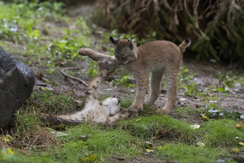 Julie Larsen Maher_4770_Canada Lynx and Kittens_QZ_09 02 20