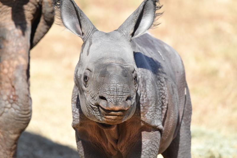 OKC Zoo rhino mom Niki and her calf credit Sabrina Heise