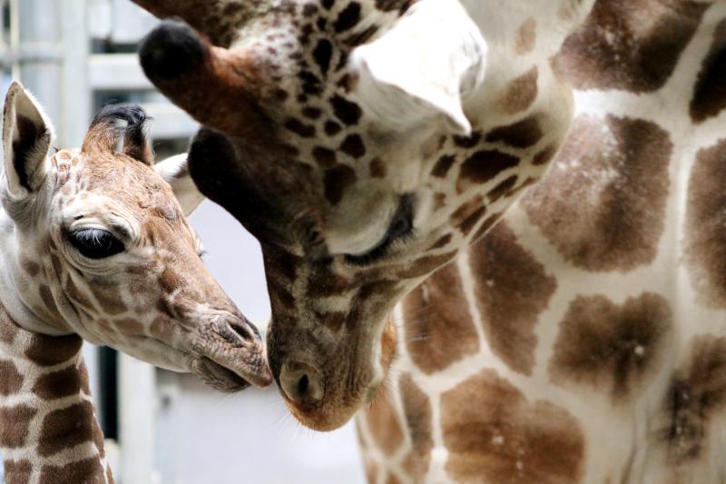 Giraffe Calf 2020_2_Melanie Laurendine
