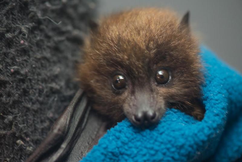 H_Rodrigues-bat-baby
