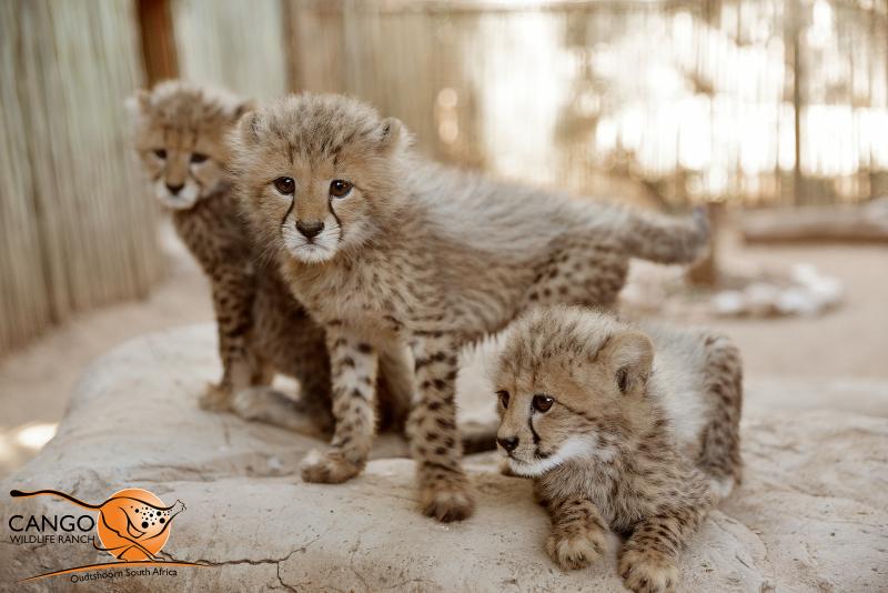 V-Cubs-3
