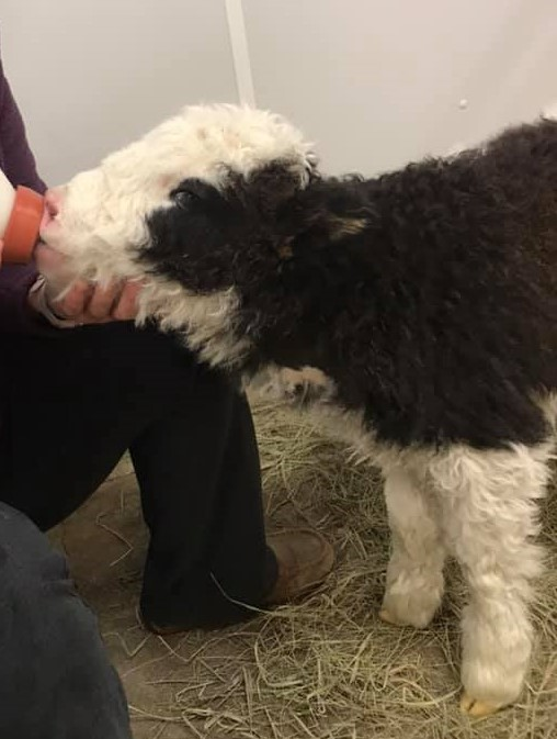 Olivia feeding roberta the yak calf cropped