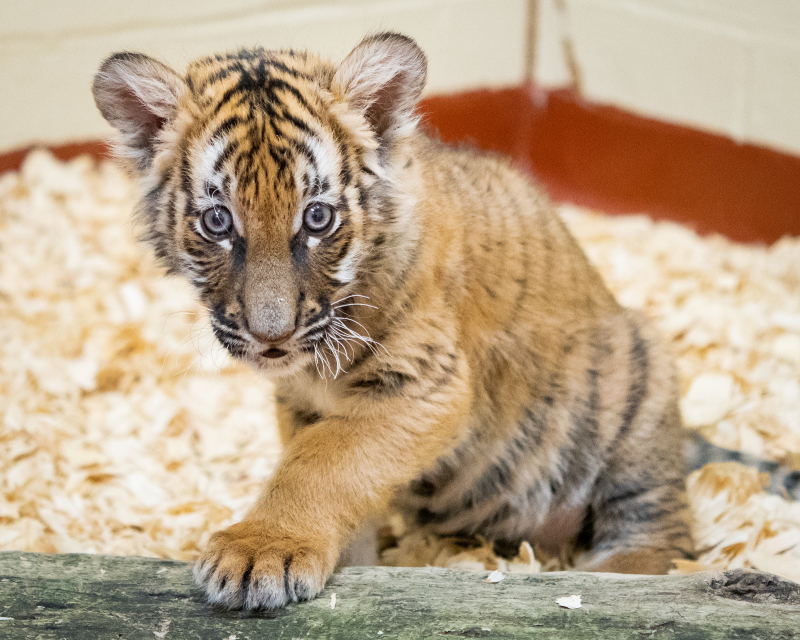 Malayan tiger cub photo 2 (courtesy of Cleveland Metroparks Zoo)