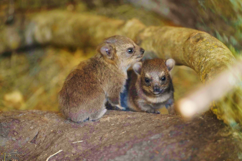 Baby rock hyrax at Longleat