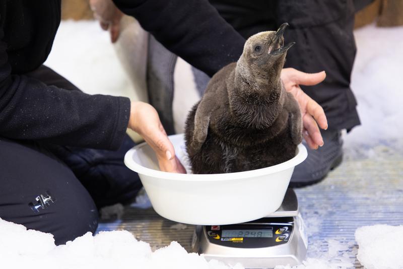 SEA-LIFE-Melbourne-King-Penguin-Chicks-11.03.21-(2)