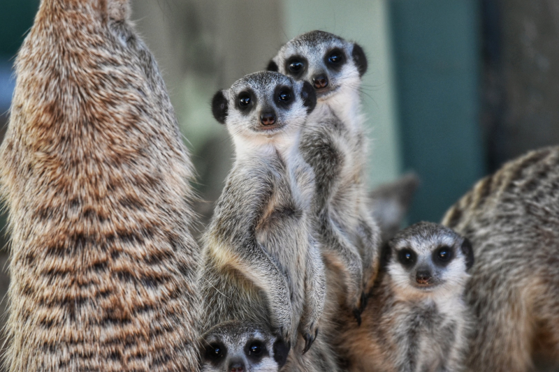 Meerkat pups_photo credit Sebastian Bocaz (3) (1)