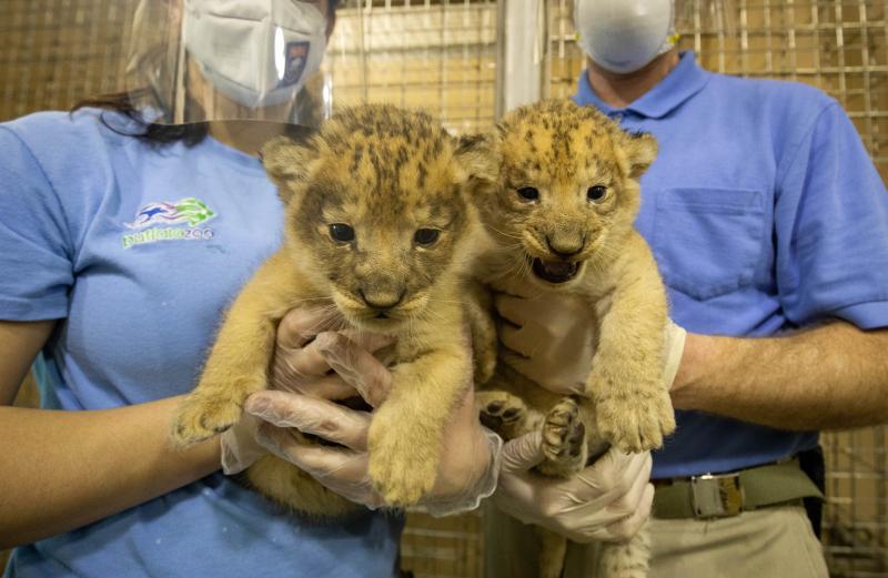 Lion Cubs 2021