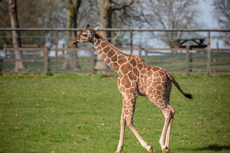 C-Margaret-the-giraffe-calf-takes-first-steps-outside-at-ZSL-Whipsnade-Zoo-c-ZSL