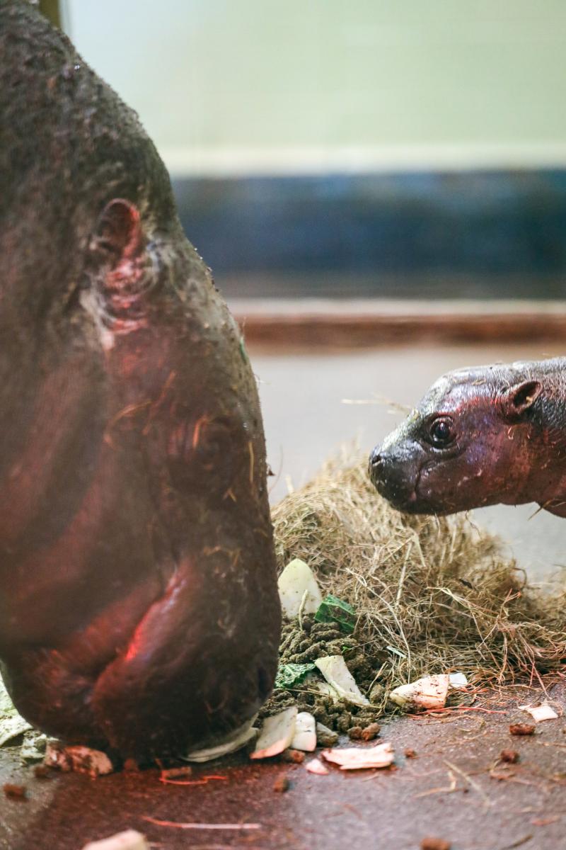 Pygmy-hippo-calf_28.4.21_JW-(3)
